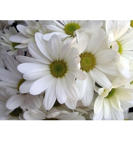 Margaritas Blancas
